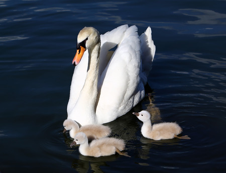 mute swan: White Swan Cygnets with Mother in the water
