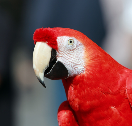 Parrot - Red Blue Macaw 스톡 콘텐츠