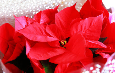 Bright red poinsettia or christmas flower