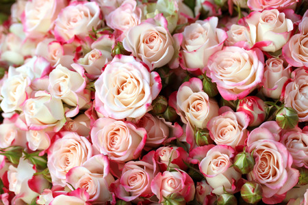 rosas blancas: Rosas de fondo Foto de archivo