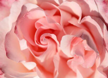 rosas blancas: Rose antecedentes de cerca