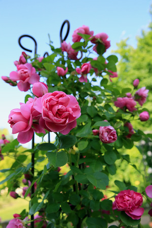 yellow roses: Rosas en el jard�n
