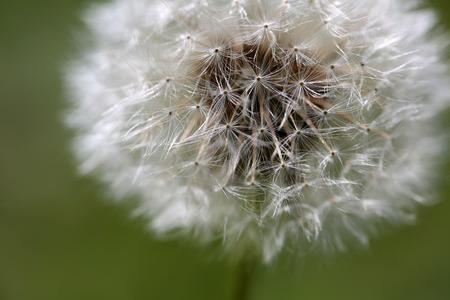 Dandelion abstract closeup, tranquil art scene.