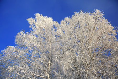 Winter white trees on background of the blue sky Standard-Bild