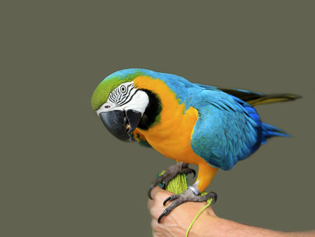 Ara ararauna. Blue-yellow macaw parrot on the hand. Isolated on the grey