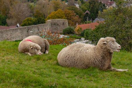 Sheep resting on a green lawn, Slovakia Europe. High quality photo Standard-Bild