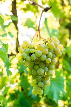 bunch of white grapes. vineyards. wine. selective focus 写真素材