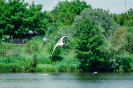 many gulls fly over the pond in search of food. Nature