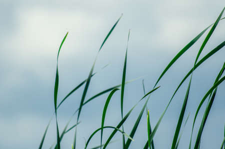 Long green grass and reeds isolated on white background with copy space, blank for text.