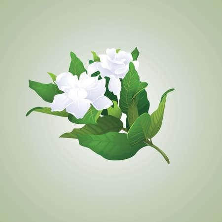 gardenia: Gardenia branch Illustration