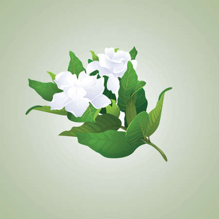 Gardenia branch Illustration