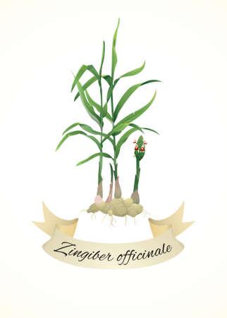 Botanical illustration of ginger plant (Zingiber officinale)