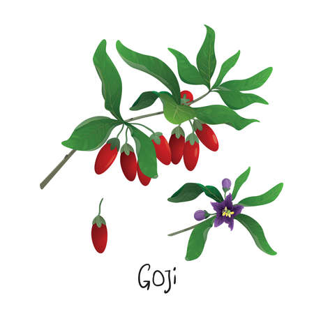 Branch of Goji berries Illustration