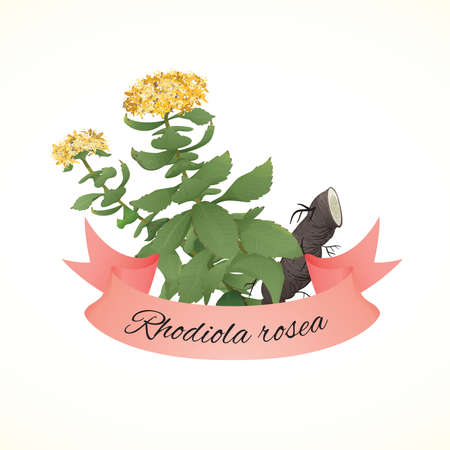 Rhodiola rosea or Golden root plant