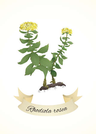 rosea: Rhodiola rosea or Golden root plant