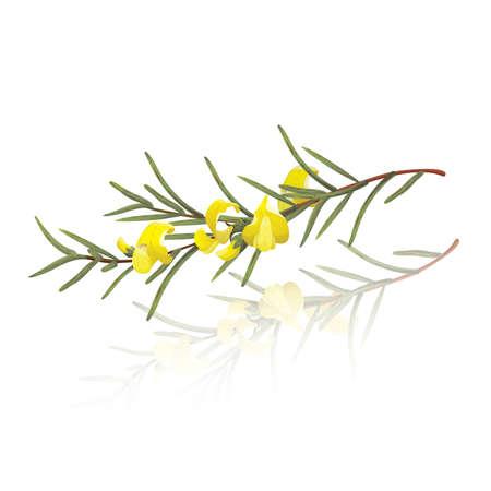 Zweig der Rooibos (Aspalathus linearis) Illustration