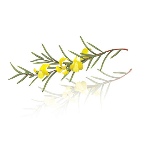 Pflanzen: Zweig der Rooibos (Aspalathus linearis) Illustration
