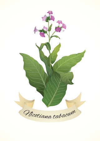 tobacco plant: Tobacco plant (Nicotiana tabacum)