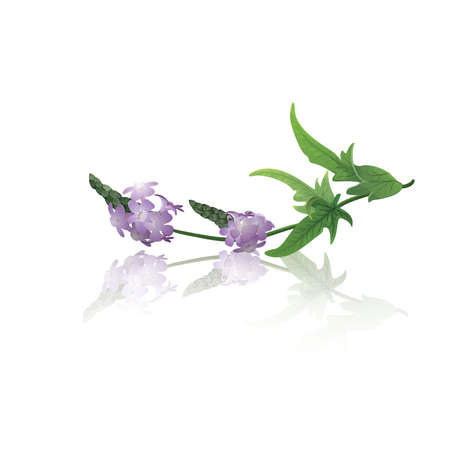 Direction de verveine (Verbena officinalis)