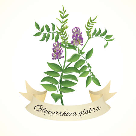 licorice: Liquorice plant  (Glycyrrhiza glabra) Illustration