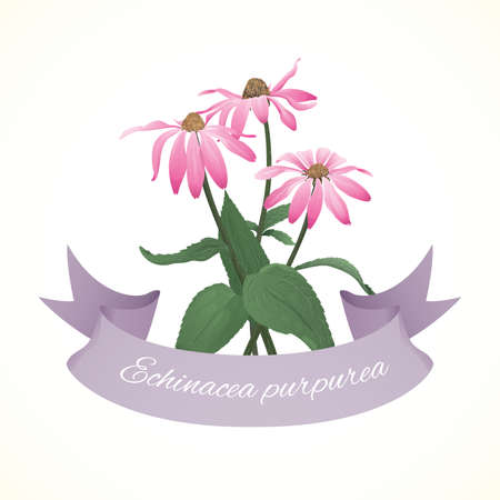 ayurveda: Flowers of puprple coneflower (Echinacea purpurea)
