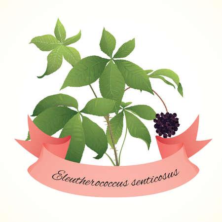 Branch of legendary herb eleuthero (Eleutherococcus senticosus)