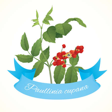 Branch of guarana plant (Paullinia cupana)