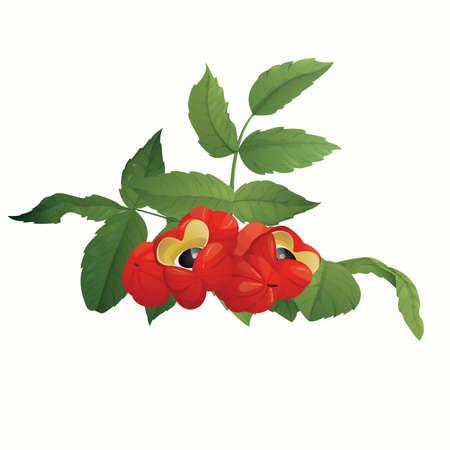 Guarana berries (Paullinia cupana)