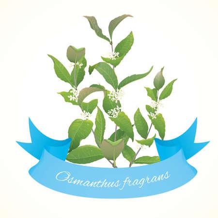 plantas medicinales: Ilustración del vector de la planta Osmanthus Osmanthus fragranse Vectores