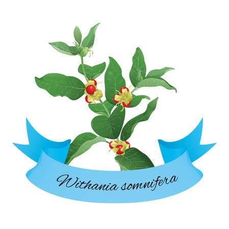 fruit stem: Withania somnifera commonly  known as ashwagandha Illustration