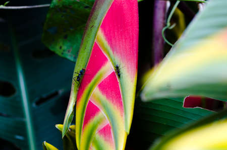 Inflorescence of Heliconia defended by an ant and visited by a species of fly Stock Photo