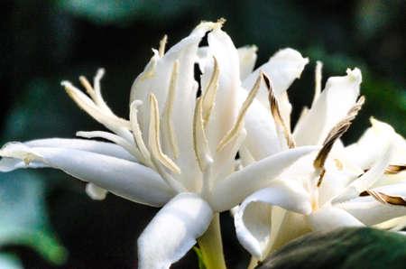 Flor de Coffea arabica com as anteras abertas.