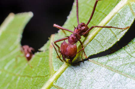 Ants collecting leaves for fungal garden col?'nia Banco de Imagens