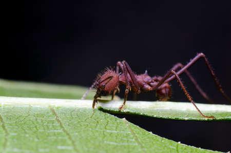 Formigas coletando folhas para o jardim de fungos da colônia