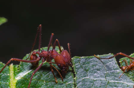 Ants collecting leaves for the colonys fungus garden Imagens