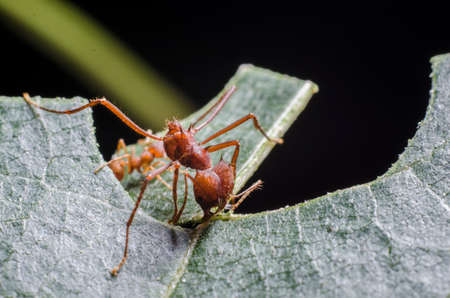 Ants collecting leaves for fungal garden