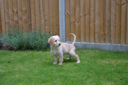 loo: Goldendoodle puppy - loo