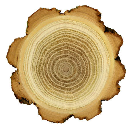 Growth rings of acacia tree - cross section Stock Photo - 13446913