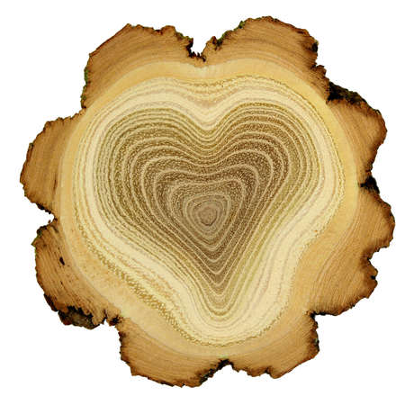 bark: Heart of tree - growth rings of acacia tree - cross section
