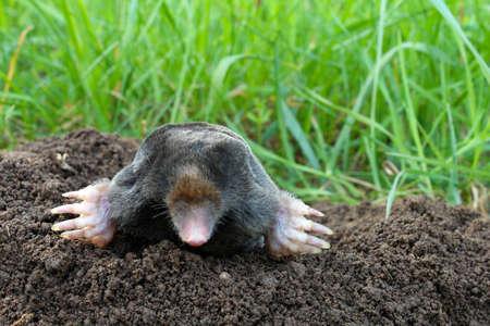 insectivores: Mole and molehill on garden Stock Photo