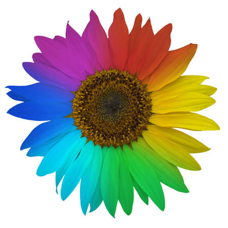 Open blossom of sunflower, colored rainbow