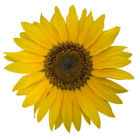 Open yellow blossom of sunflower Stock Photo - 18725469