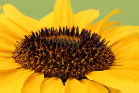 Open yellow blossom of sunflower, green background