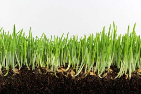 Jonge groene gerst met zaden en wortels