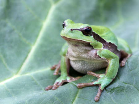 arboreal frog: Photo of green tree frog  Hyla arborea  on the leaf Stock Photo