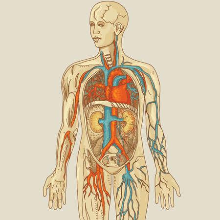 Illustration of human anatomy Stock Vector - 12327822