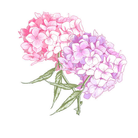 Hydrangea Vintage BotanicalIllustration Vector