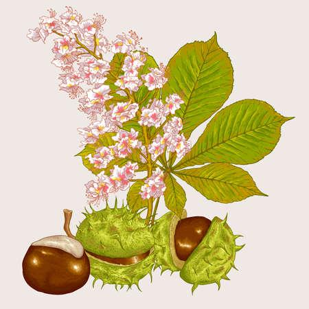 castaÑas: Ilustración del flor de la castaña Botánico Vector Vectores
