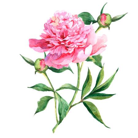 Pink vintage peonies, botanical spring watercolor illustration Foto de archivo