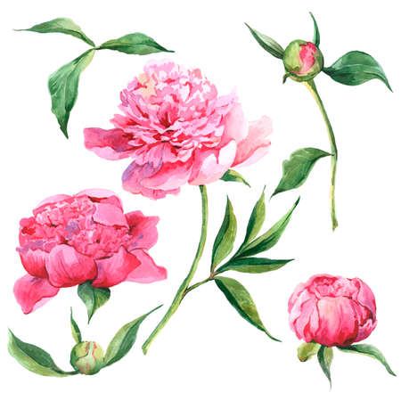 pfingstrosen: Set Aquarell floralen Design-Elemente. Lizenzfreie Bilder